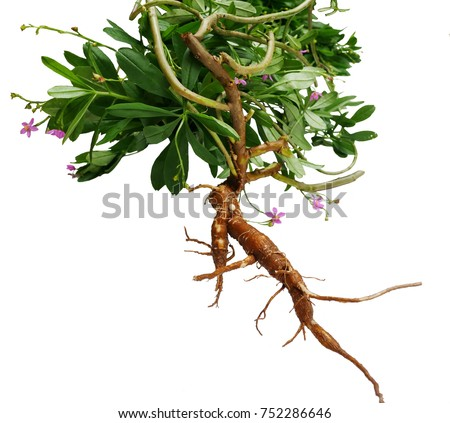 Talinum patens Willd, Claytonia patens, Thai ginseng root is a large rootstock in the basement white or brown. When the roots are full, they are shaped like Korean ginseng or Chinese ginseng