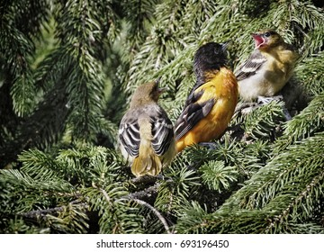 """""""Talking Back to Dad"""" Both new Baltimore Oriole offspring demanding that Dad go find more bugs for them to eat."""