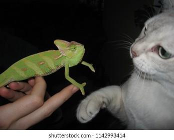 Talking chameleon and tomcat