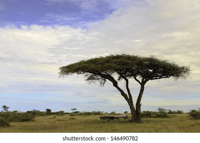 Tall Acacia under African skies with chairs and tables under it