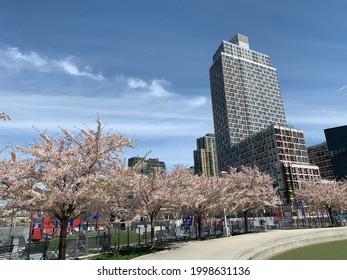 Un gran complejo de departamentos se eleva sobre los florecientes cerezos
