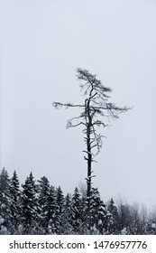 Tall bare dead tree in spruce forest in winter on gray gloomy sky