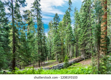tall and big sequoias in beautiful sequoia national park with blue sky