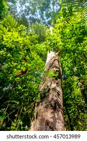 Tall and big tree of Dipterocarpus in beautiful Khao Sok National Park, Surat Thani Province, Thailand. It is an important component of dipterocarp forests.