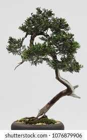 Tall bonsai tree of Virginian juniper tree, also called red cedar, latin name Juniperus Virginiana, in interior on light grey background