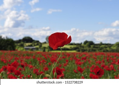 A tall bright red poppy sticking out from a field of poppys in front of a blue summer sky