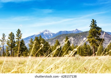 Tall brown grass, pine trees and snow-capped mountains in Flagstaff, Arizona park on clear blue sky day