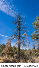 Tall brown pine tree stands in a meadow in the mountains of the western united States.