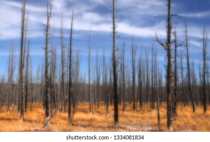Tall burnt pine trees in Yellowstone national park
