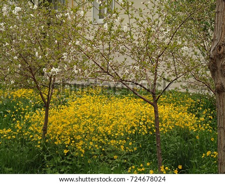 Tall buttercup masses yellow flowers spring stock photo edit now masses of yellow flowers in spring yellow flowers young trees begin mightylinksfo