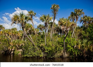 Tall cabbage palms frame edge of river in Everglades
