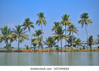 Tall coconut trees on the banks of kerala backwaters.