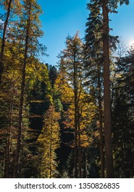 Tall colorful yellow and green autumn trees growing in mountain forest on bright sunny day with blue sky