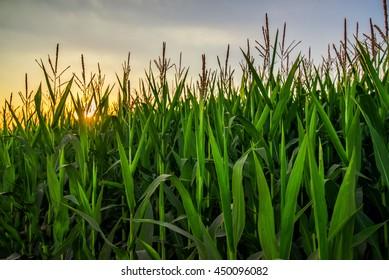 Tall corn crop plants in sunset, green maize plantation growing high