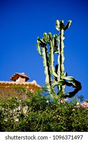 Tall, distinctive Cactus plant in a garden in Majorca