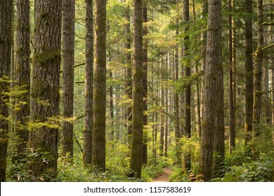 Tall Douglas fir trees in forest
