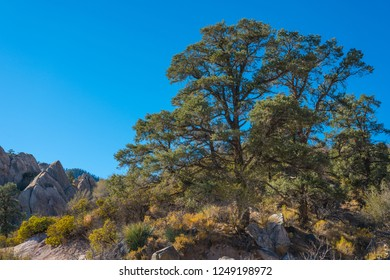 Tall evergreen trees grow along a canyon edge in California's Mojave Desert.