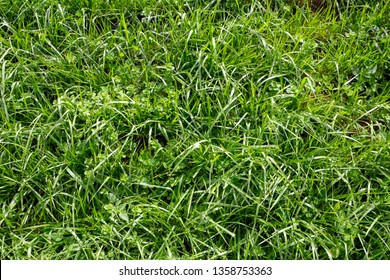 Tall fescue is a highly productive and persistent grass that is easy to manage, excellent insect and drought tolerance and persistence.