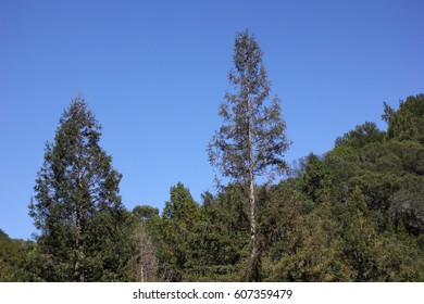 Tall forest trees on the blue sky