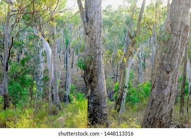 Tall forest of white mahogany E. acmenoides with Lemon-scented Gum C. citriodora and cypress pine in the western edge of the Wet Tropics World Heritage Area, northeast Queensland.