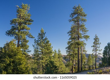 Tall fresh green pines trees stand in the early morning sunlight of the mountains.