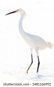 Tall fresh water coastal bird, the egret on an isolated white background, The great bird represents purity, patience and long life.