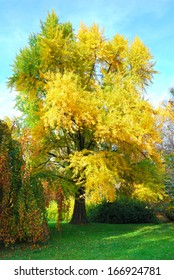 Tall gingko biloba tree with golden leaves