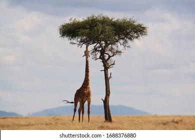 Tall Giraffe eating from a tall tree
