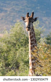 Tall giraffe looking above the bushes in Kruger National Park, South Africa