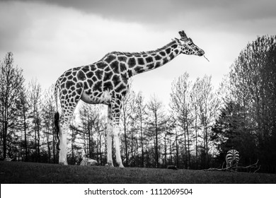 Tall giraffe standing on a meadow and eating grass with trees in the background