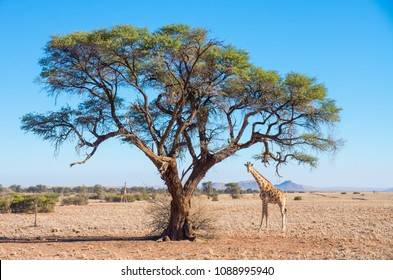 Tall giraffe standing under acacia tree in the Namibian savanna, Southern Africa