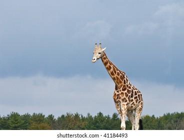 Tall giraffes on a cloudy day