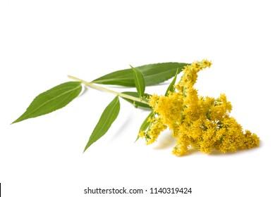 tall goldenrod  (Solidago gigantea) flowers isolated on white