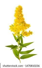 Tall goldenrod  (Solidago gigantea) flowers isolated on white