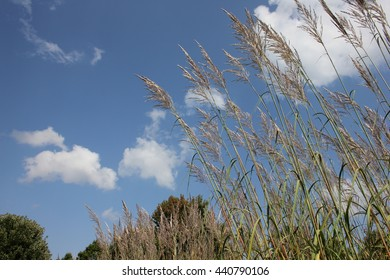 Tall grass against a blue sky and cloud background