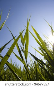 Tall grass backlit at sunrise