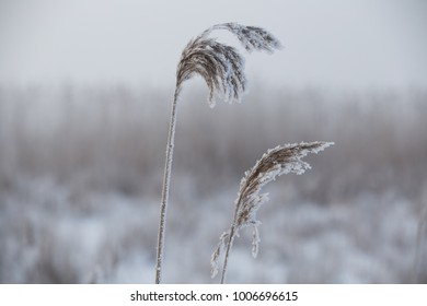 Tall grass covered i frost.
