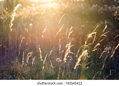 tall grass in field at sunset