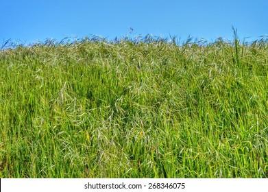 Tall grass in the meadows of Topanga Canyon. Topanga Park, California.