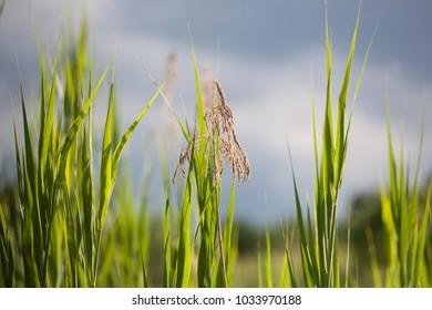 Tall Grass on a Cloudy Summer Day