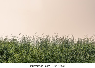 Tall grass on a meadow with clear sky
