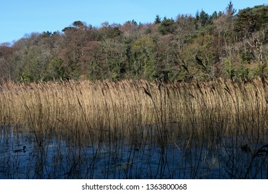 Tall grass and reeds at the banks of a Scottish loch