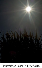 Tall grass in silhouette against sunshine