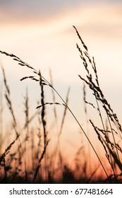 Tall grass sunset in Springfield, Missouri