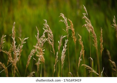 Tall grasses in a meadow.