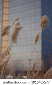 Tall grasses seed heads in winter against shiny glass clad high rise sky scrapers with blur gold and gray colors, interesting juxtaposition of nature and business office building background