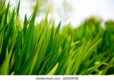 Tall green grass close up on sunny day