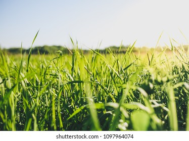 Tall green grass in the field. Summer spring meadow landscape on a sunny day. Nature eco friendly photo. Wallpaper with the blue sky.