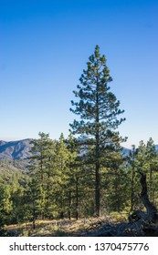 Tall green pine tree stands above forest trees in National Forest.