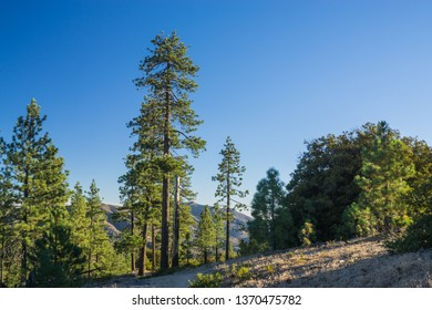 Tall green pines stand on a mountainside in the Angeles National Forest of southern California.